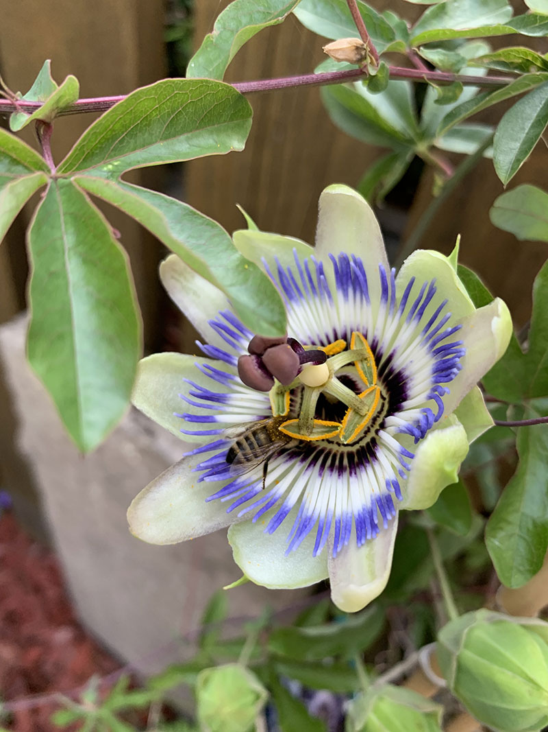 Biene auf Passionsblume