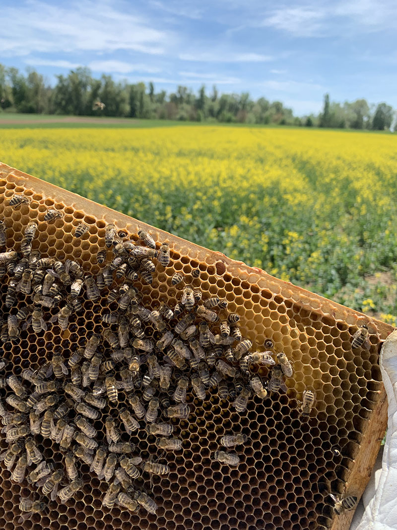 Bienen im Raps